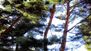 tall red pines