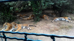 Siberian Tigers Relaxing in the shade