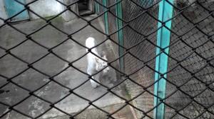 Even White Siberian Tiger