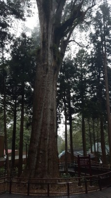 Alishan Sacred Red Cypress about 2300 years old