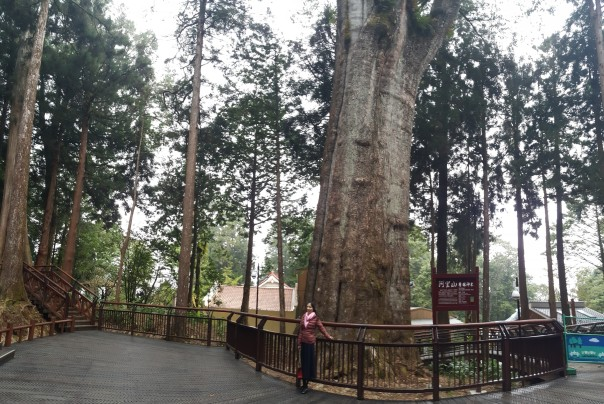 2300 yrs. old Red Cypress , 45 meters tall, circumference is 12.3 meters